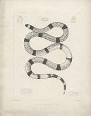 "view Engraving of snake species ""Elaps nigrocinctus"" digital asset number 1"
