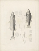 view Percichthys melanops and Basilichthysmicrolepidotus digital asset number 1