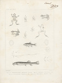 "view Engraving of fish and frog species ""Trichomycterus Maculatus, Cheiroden Pisciculus, Cystignathus Taeniatus, and Phyllobates Auratus"" digital asset number 1"