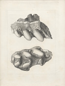 """view Engraving of fossilized """"Mastodon Andium"""" digital asset number 1"""