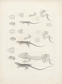 "view Engraving of lizard species ""Proctotretus Tenius, Proctoretus Femoratus, and Proctotretus Stantoni"" digital asset number 1"