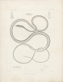"view Engraving of snake species ""Dryophis vittatus"" digital asset number 1"