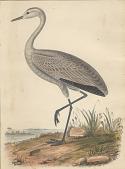 view Grus fraterculus (Little Crane) digital asset number 1
