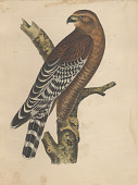 "view Lithograph of bird species ""Buteo elegans"" digital asset number 1"
