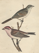 "view Lithograph of bird species ""Carpodacus cassinii and Melospiza fallax"" digital asset number 1"