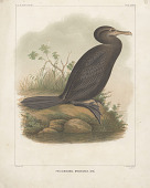 "view Chromolithograph of bird species ""Phalacrocorax Brasilianus"" digital asset number 1"