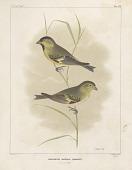 "view Lithograph of bird species ""Chrysomitris Marginalis"" digital asset number 1"