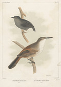 "view Lithograph of bird species ""Ericornis Melanura and Scytalopus Fuscus"" digital asset number 1"