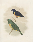"view Chromolithograph of bird species ""Euphonia Rufiventris adult male and Chlorophonia Occipitalis adulte male"" digital asset number 1"