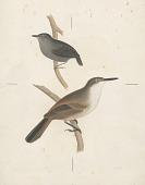 view Ericornis melanura [Gray] adult and Scytalopus fuscus [Gould] adult digital asset number 1