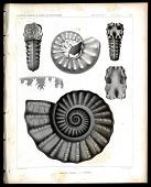 view Ammonites Texanus, A. Leonensis digital asset number 1