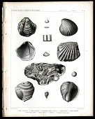 view Anomia Subcortata, Cardita planicosta, Pholadomyr Texana (Cretaceous), Corbula nasuta, Venus Vespertina, Volutilithes Sayana, Natica Eminula, Turritella, Cassidula (Lacinia) Alveata digital asset number 1