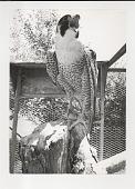 view Peregrine Falcon digital asset: Photograph by Ken Regan, peregrine falcon at Drumlin Farm, Lincoln MA, 1970