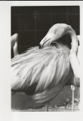 view Flamingos digital asset: Photograph by Ken Regan, flamingos