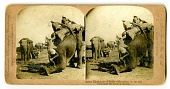 view Army Elephants of India - Mounting by the tail digital asset number 1