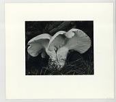 view Toadstool digital asset: Photograph by Edward Weston, 1932, Toadstool