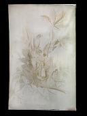 view American Robin, Turdus Migratorius, Male, 1. Female, 2. Young, 3., Chestnut oak. Quercus Vrinus digital asset number 1
