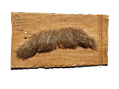 view false moustache worn by James Whitmore as Teddy Roosevelt in show Bully digital asset: Mustache worn by James Whitmore as Teddy Roosevelt in Bully
