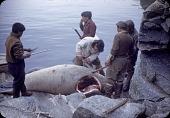 view Walrus hunt near Padloping, Island digital asset: S04825