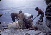 view Walrus hunt near Padloping, Island digital asset: S04827