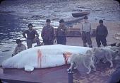 view Men (Baffinland Inuit) flensing a whale digital asset: S04831