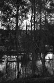 view Pine trees along canal. Nile Delta region, Egypt digital asset: Pine trees along canal. Nile Delta region, Egypt