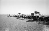 view Cattle drive through village, Kokow village, Sudan digital asset: Cattle drive through village, Kokow village, Sudan