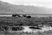 view Hippopotamus on Kibirizi plains, Virunga National Park, Congo (Democratic Republic) digital asset: Hippopotamus on Kibirizi plains, Virunga National Park, Congo (Democratic Republic)
