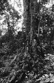 view Mbuti hunters, near Beni, Congo (Democratic Republic) digital asset: Mbuti hunters, near Beni, Congo (Democratic Republic)