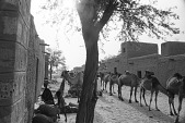 view Dromedary camels on caravan route, Tombouctou, Mali digital asset: Dromedary camels on caravan route, Tombouctou, Mali