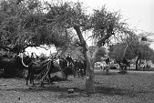 view Zebu cattle, donkeys and goats, Abouza, Zinder-Tanout region, Niger digital asset: Zebu cattle, donkeys and goats, Abouza, Zinder-Tanout region, Niger