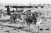 view Zebu cattle and donkeys near Woodabe woman's shelter and domain, Chadawanka village, Niger, [negative] digital asset number 1