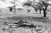 view Dead dromedary camel on salt caravan route, between Tombouctou and Taodeni, Mali digital asset: Dead dromedary camel on salt caravan route, between Tombouctou and Taodeni, Mali