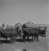view Cattle, Soweto digital asset: Cattle, Soweto