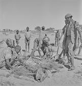 view San man butchering cattle, Kalahari Desert, Botswana digital asset: San man butchering cattle, Kalahari Desert, Botswana