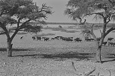 view San men herding cattle, Kalahari Desert, Botswana digital asset: San men herding cattle, Kalahari Desert, Botswana