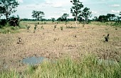 view Wet rice growing fields, near Iboko, Abakaliki District, Nigeria digital asset: Wet rice growing fields, near Iboko, Abakaliki District, Nigeria
