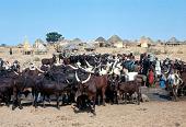 view Fulbe herder's Zebu cattle, near Sokoto, Nigeria digital asset: Fulbe herder's Zebu cattle, near Sokoto, Nigeria