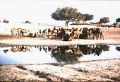 view Dromedary camels at the river, Tombouctou, Mali digital asset: Dromedary camels at the river, Tombouctou, Mali