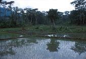 view Rice paddy fields, Man region, Ivory Coast digital asset: Rice paddy fields, Man region, Ivory Coast