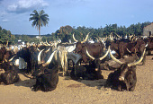 view Cattle, driven from northern Nigeria, arriving at outdoor market, Ibadan, Nigeria digital asset: Cattle, driven from northern Nigeria, arriving at outdoor market, Ibadan, Nigeria