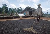 view Mangbetu man spreading coffee out to dry, Mongomasi village, Congo (Democratic Republic) digital asset: Mangbetu man spreading coffee out to dry, Mongomasi village, Congo (Democratic Republic)