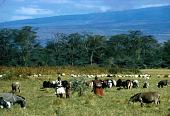 view Pastoral Maasai with cattle, Great Rift Valley, Kenya digital asset: Pastoral Maasai with cattle, Great Rift Valley, Kenya