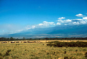 view Cattle grazing in the plains, Great Rift Valley, Kenya digital asset: Cattle grazing in the plains, Great Rift Valley, Kenya