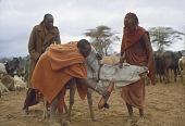 view Pastoral Maasai drawing cow's blood into a calabash, Olengaitoli village, Kenya digital asset: Pastoral Maasai drawing cow's blood into a calabash, Olengaitoli village, Kenya