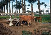 view Saqiya, or water-wheel driven by animal, Shabramant, Egypt digital asset: Saqiya, or water-wheel driven by animal, Shabramant, Egypt