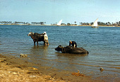 view Two men with water buffalo, Nile Delta region, Egypt digital asset: Two men with water buffalo, Nile Delta region, Egypt