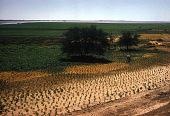 view Bean fields, wheat, straw, and thorn trees at edge of Nile River, near Khartoum, Sudan digital asset: Bean fields, wheat, straw, and thorn trees at edge of Nile River, near Khartoum, Sudan