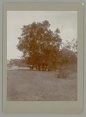 view Tree (Acacia Pringlei?) n.d digital asset number 1
