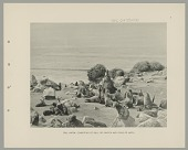 view Seal Harem (Including Bull Sikatch) and Cows (Matki) 1890 digital asset number 1